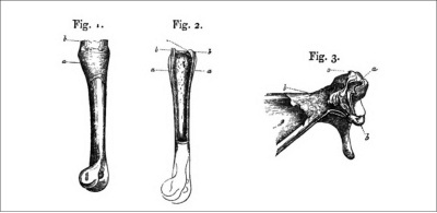 Wagner's illustration of the humerus of a rabbit, showing bone growth